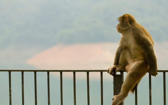 Animals___Monkeys____Monkey_sitting_on_a_fence_059395_